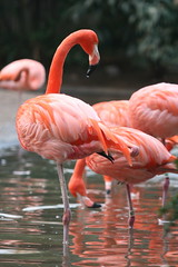 bird animal zoo washingtondc smithsonian dc washington wings districtofcolumbia district wildlife flamingo beak feathers aves columbia nationalzoo species caribbeanflamingo phoenicopterusruber plumage americanflamingo dczoo phoenicopterus diurnal