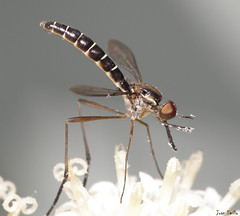 Mosquito (Juan Emilio -) Tags: macro searchthebest supershot topshots raynoxdcr250 golddragon specinsect natureselegantshots olympussp570uz beautifulmonsters panoramafotogrfico parquemetropolitanosantiago