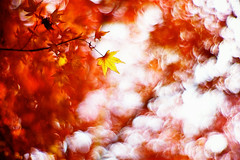 under the red sky (moaan) Tags: life leica november autumn light red sunlight color leaves sunshine digital 50mm maple dof shine bokeh momiji japanesemaple m8 2008 hue tinted mapleleaves 2007 autumnalleaves f095 tinged explored canonf095 inlife leicam8 canon50mmf095 bokehwhores tingedwithred gettyimagesjapanq1 gettyimagesjapanq2