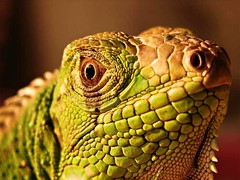 Night of The Iguana (Fliker_2000) Tags: usa photography la photographer tag picture best elite iguana ooh 1001nights soe th 2007 etiqueta naturesfinest blueribbonwinner otw digitalcameraclub supershot bej totalphoto abigfave anawesomeshot infinestyle ilickedit brillianteyejewel 1on1photooftheweek goldstaraward academyofphotographyparadiso ahqmacro absolutelystunningscapes flickrbestpics 100commentgroup alittlebeauty mallmixstaraward mallmixstaraward dragondaggerphoto 1on1photooftheweekoctober2008 younglittlesweet soeplatinumphoto