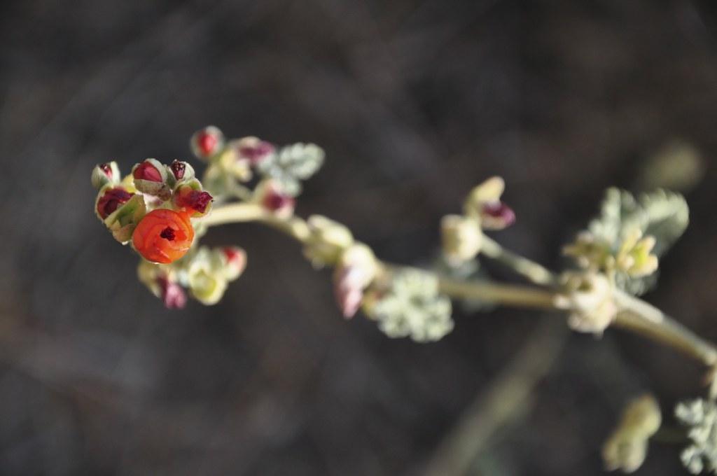 Desert Flower.