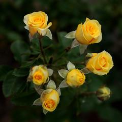 ~Miniature Roses~