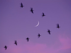 After sunset, moon, 'ghost geese'. (MistyDays / CB) Tags: california sunset wild moon motion bird nature birds animal animals northerncalifornia america wow wonderful spectacular geese twilight natural wildlife gorgeous olympus best v motionblur migration waterfowl 50200mm avian snowgeese sacramentovalley charleneburge sacramentonationalwildliferefuge moonview stormygirl rosssgeese anawesomeshot e520 llanosecounit nearthesacramentoriver highestposition7ontuesdaydecember22008 charlenemburge