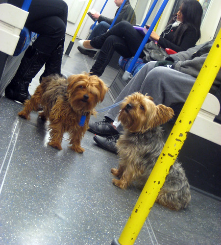 Yorkies on the Tube