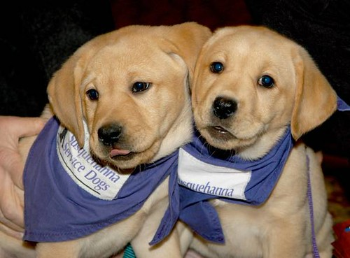 "Two totally adorable golden lab puppies with floppy ears, wearing blue cotton bandanas with the tag ""Service Dogs."""
