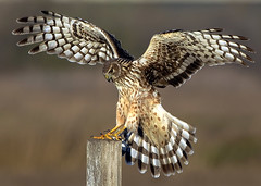 Touchdown, Focused (Sharpeyesonline) Tags: wow bravo post superb bokeh hawk unique oneofakind super bowl special explore freeway stunning marsh postal unusual unreal mybest touchdown patience wetland infocus precise naturesfinest northernharrier circuscyaneus veryspecial verycool excellente tacksharp specanimal abigfave avianexcellence nikond300 goldstaraward vosplusbellesphotos willjamessooter wwwsharpeyesonlinecom nikkoraf300f28 photocontesttnc09 dailynaturetnc09