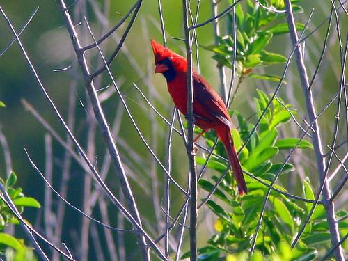 Northern Cardinal 20090316