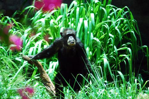 Chimp in the Hawaiian jungle