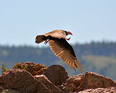 Turkey Vulture Takeoff (Fort Photo) Tags: wild bird nature birds animal tv nikon searchthebest wildlife birding flight ave wyoming vulture buzzard takeoff ornithology 2009 avian bif wy turkeyvulture cathartesaura d300 ciconiiformes 300f4 cathartidae tiesiding avianexcellence