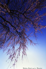 Shidare-Sakura (cherry blossom) (waltersoluh) Tags: pink blue sky flower tree nature cherryblossom rs mywinners platinumphoto visiongroup theunforgettablepictures colorsofthesoul redmatrix magicunicornverybest adrinnesmagicalmoments