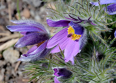 Pulsatilla vulgaris (KurtQ) Tags: flowers purple sweden april pasqueflower 2010 pulsatillavulgaris backsippa danesblood