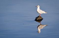 Just a reflex (HERNANTIPA) Tags: birds seagull gull aves laboca gaviota caminito 200mm d3100 hernantipa