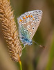 Chalkhill Blue Butterfly (Steve012345 - 1/2 a million thanks.) Tags: blue summer macro butterfly insect polyommatuscoridon mygearandme mygearandmepremium mygearandmebronze mygearandmesilver mygearandmegold mygearandmeplatinum mygearandmediamond