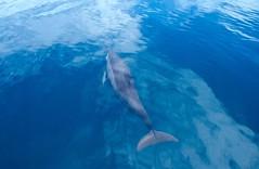 Dolphin (**MIKA**) Tags: ocean blue fiji dolphin blau delfin favs blueribbonwinner fidschi avision