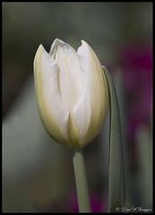 "White tulip (Saveena (AKA LHDugger)) Tags: 15fav favorite white plant flower nature bulb garden spring flora all texas no tx houston lisa any h rights form written without usage reserved tulipa allowed liliaceae consent dugger ""© saveena"""