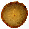 Pear Texture (Ciro Boro - photo) Tags: texture textura fruit backlight fruta pear pera plexy