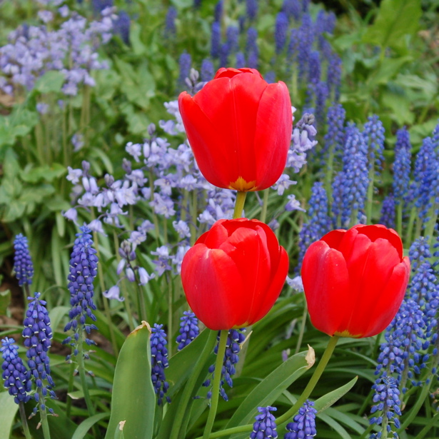 tulips_wide_square