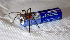 Kleiner arachnider Freund