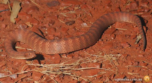 Pilbara death adder (Acanthophis wellsi)