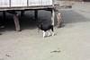 Beneraf village (Mangiwau) Tags: new dog west guinea village kampung papua kampong nouvelle melayu manusia anjing irja guinee sarmi irian papouasie kribo irianese beneraf