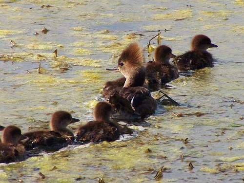 Hooded Merganser (female) w/ Ducklings