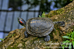 Espreguiando.... (_Guilherme Grespan) Tags: brazil lake nature water animal rock gua brasil fauna photoshop canon lago photography eos 350d rebel xt photo foto looking saopaulo turtle natureza down explore adobe da paulo fotografia dslr serra sao pedra stretching so tartaruga baixo fotografo guilherme lightroom 50mm18 olhando taboo grespan espreguiando sampaclick httpwwwflickrcomphotosguilhermegrespan guilhermegrespan wwwflickrcomphotosguilhermegrespan httpwwwflickrcompeopleguilhermegrespan wwwflickrcompeopleguilhermegrespan httpflickrcomphotosguilhermegrespan httpflickrcompeopleguilhermegrespan