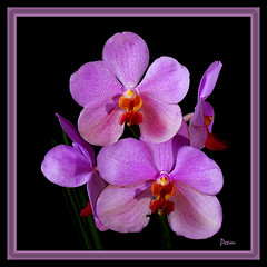 The Purple Orchids (Peem (pattpoom)) Tags: flores flower nature fleurs garden orchids blumen bunga fiori  blommor bloemen blomster bulaklak kwiaty hoa  blm iekler     kvtiny naturesfinest    abigfave blthanna   kukkien virgokat