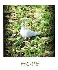 Hope (Darling Starlings) Tags: uk love polaroid hope peace zoom dove want oxford processing messenger churchyard didnt visitor vignette picnik frighten whitedove blowinginthewind flickrgolfclub stthomasthemartyrchurch