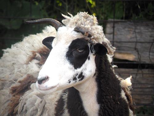 4 horn sheep