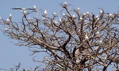 Gambia (dietmut) Tags: africa travel trees tourism birds animals bomen reisen vogels journey gambia afrika 2008 reizen dietmut verrelanden maartmarch