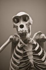 big monkey (T. Scott Carlisle) Tags: nyc history museum skeleton monkey natural bones tsc 85mmf14d tphotographic tphotographiccom tscarlisle tscottcarlisle