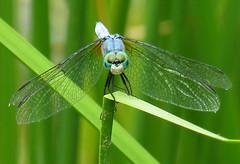 Dragonfly stare (speech path girl) Tags: macro insect eyes dragonfly skimmer aplusphoto diamondclassphotographer flickrdiamond