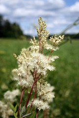 Mesiangervo (Filipendula ulmaria)