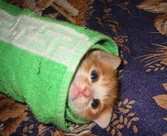 裹棉被的貓