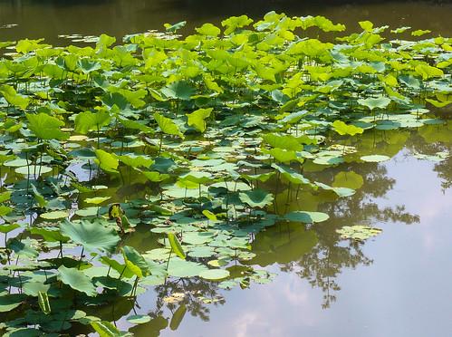 Lotus - Ryoanji