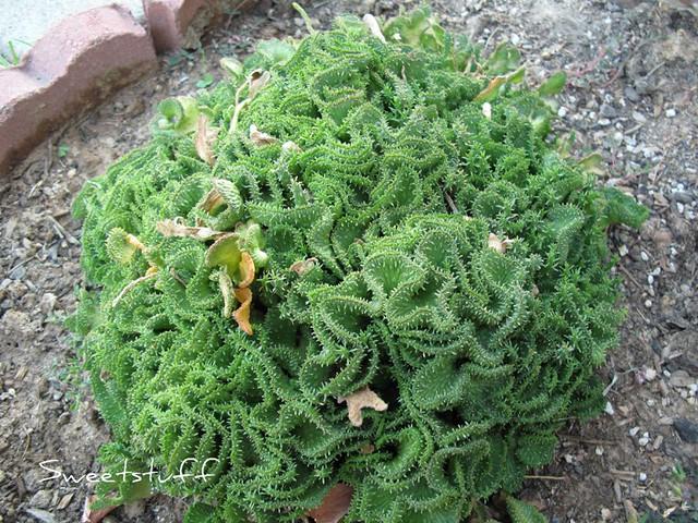 Euphorbia pugniformis f. cristata