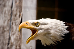 Bald Eagle Scream (Dr. Ilia) Tags: summer ontario canada bird 20d eagle baldeagle bald august 2008 birdofprey tottenham birdwatcher falconrycentre freephotos falconrycenter goldstaraward
