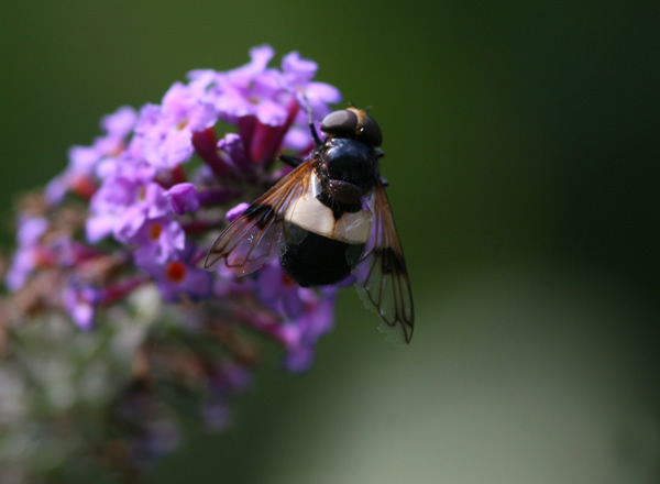 Hoverfly, Volucella pellucens