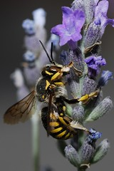 Anthidium sp. (Matteo Di Nicola) Tags: italy macro nature insect italian nikon natural insects bee micro ape tamron 90mm 90 hymenoptera creepycrawler megachilidae anthidium digitalcameraclub ar1 d80 colourartaward beautifulmonsters