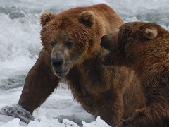 Not Today (Scott Michaels) Tags: bear usa nature alaska nationalpark nikon wildlife coastal ursus brownbear salmonrun ursusarctos brooksfalls katmai brooksriver d40 katmainationalpark nikkor70300vr