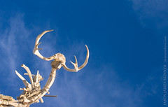 Bone Tree Branch (skinr) Tags: detail skulls branches horns bluesky playa blackrockcity ribs haunting spines rebar artinstallation mobileart animalbones danaalbany burningman2008 thebonetree wwwjskinnerphotocom jasonjamesskinner