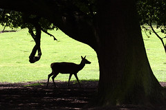 In the Shadow (Dave Hilditch Photography) Tags: animals deer essex reddeer