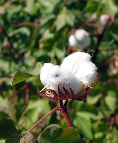 endosulfan-cotton-ban-Stockholm