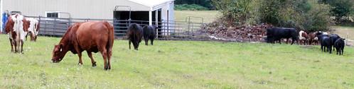cows_herd