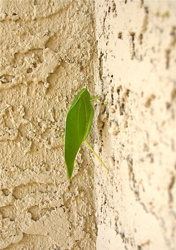 Leaf bug outside our door