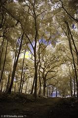 Trees @ Penyabung (Infrared) (2121studio) Tags: tree beach nature ir nikon d70 ali malaysia infrared indah kuantan pantai alam pokok goldstaraward convertedinfraredcamera 2121studio kuantanphotographer pahangphotographer ciptaanallahswt malaysianinfraredphotographer pantaipasirlanun pasirlanunbeach