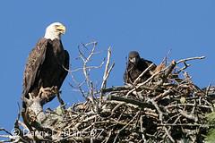 June 09 07 (6) (Dbltake) Tags: bald moncton eagles