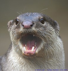 GRRRRR!!!...WE WOZ ROBBED!!! (law_keven) Tags: england animal animals mouth kent furry critter teeth angry otter critters furryfriday explore500 rarespeciesconservationcentre southernriverotter smoothcoatedotter