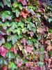 20081026_3497 (_brett_thompson_) Tags: autumn chicago fall leaves garden outside outdoors leaf botanic sonyt200