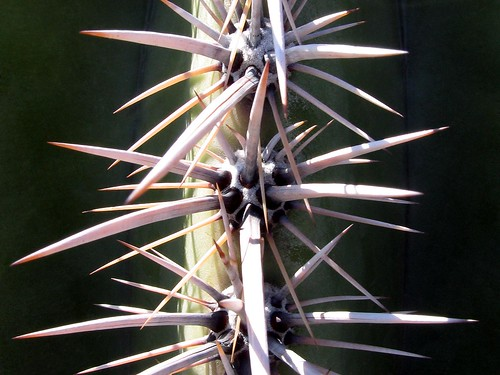 Saguaro Cactus Spines (2) by Tom Held.